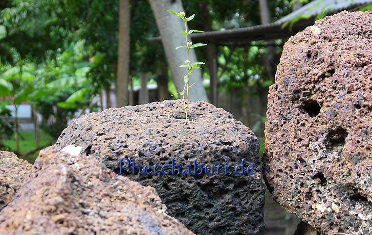 Pflanze wächst in antiker Khmer Tempelruine