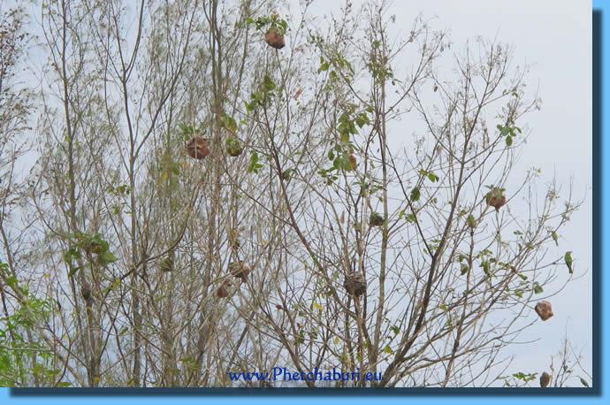 Vogelnest im Waldpark Cha-Am